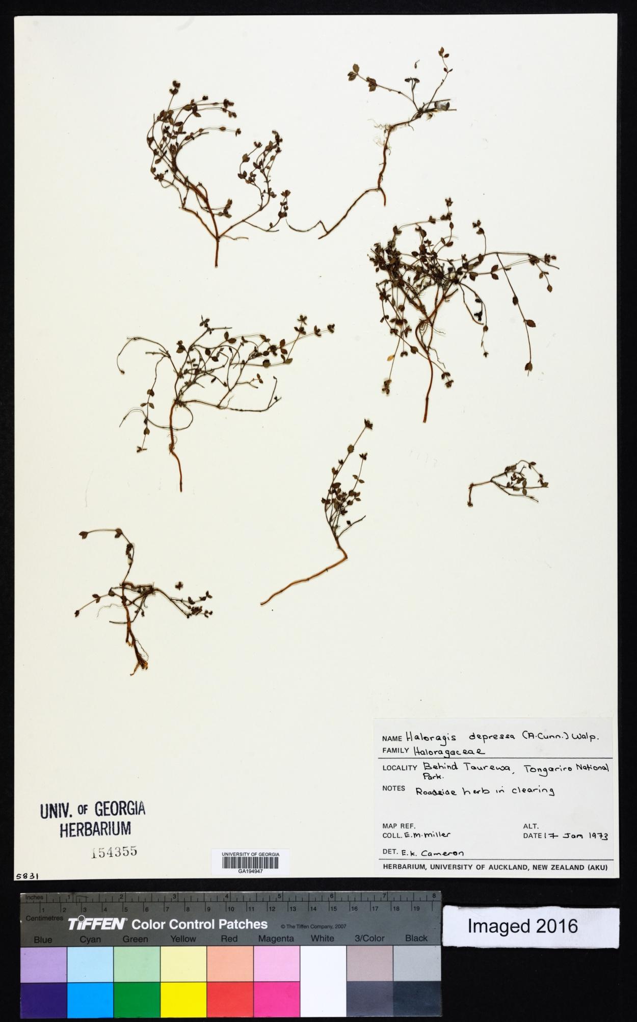 Gonocarpus image