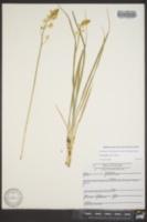 Schoenolirion croceum image