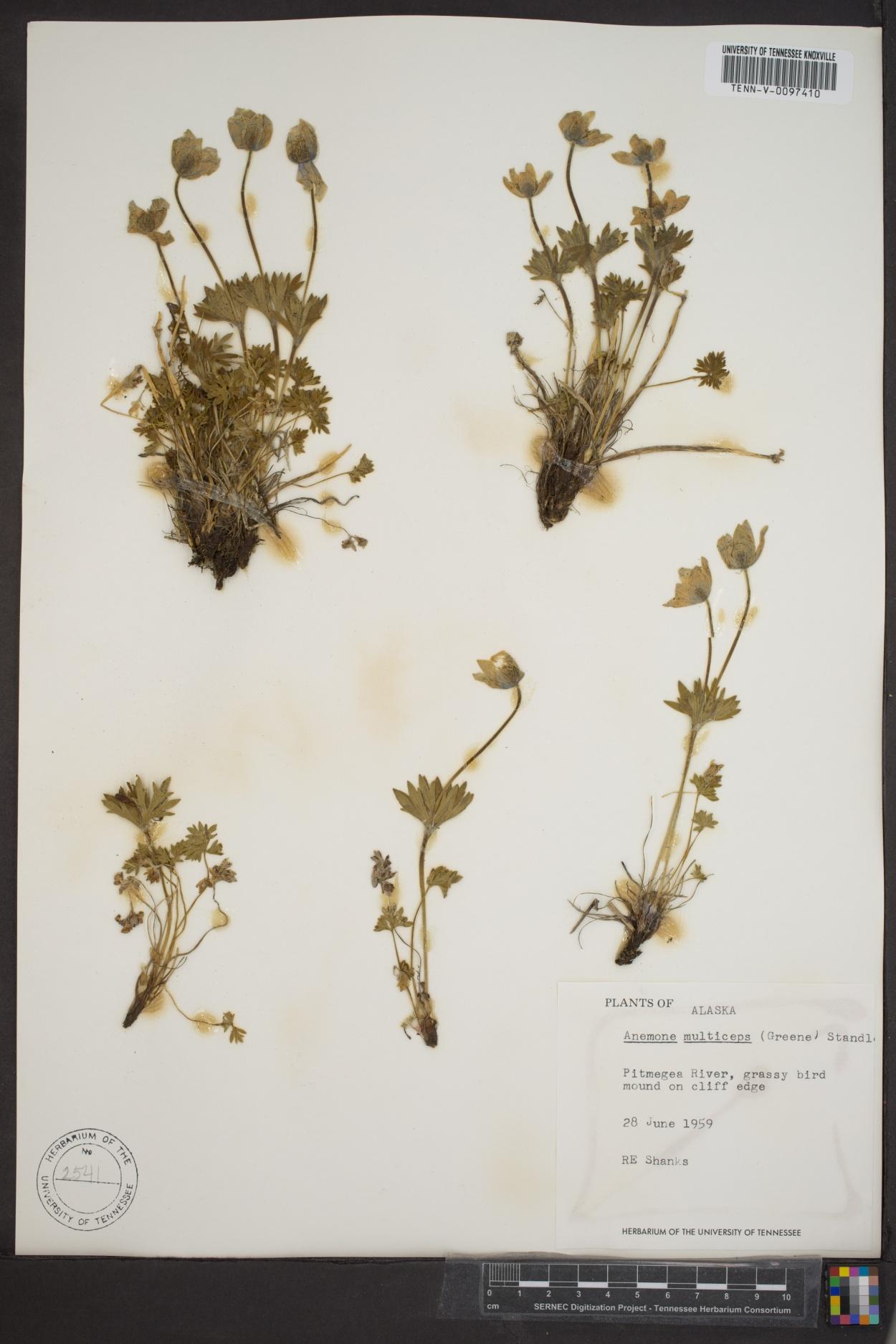 Anemone multiceps image