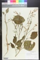 Image of Nicotiana paniculata