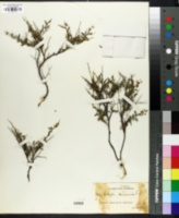 Image of Anthyllis hermanniae
