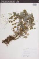Thalictrum clavatum image