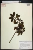 Image of Cleyera japonica