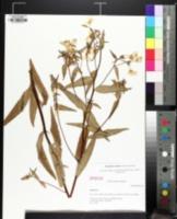 Image of Oenothera nutans