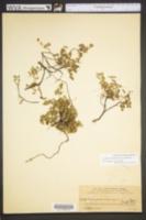 Image of Acalypha chamaedrifolia