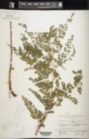 Image of Arachniodes kurosawae