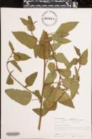 Image of Melochia corchorifolia