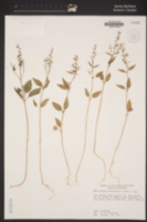 Clarkia heterandra image