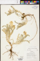 Astragalus tennesseensis image