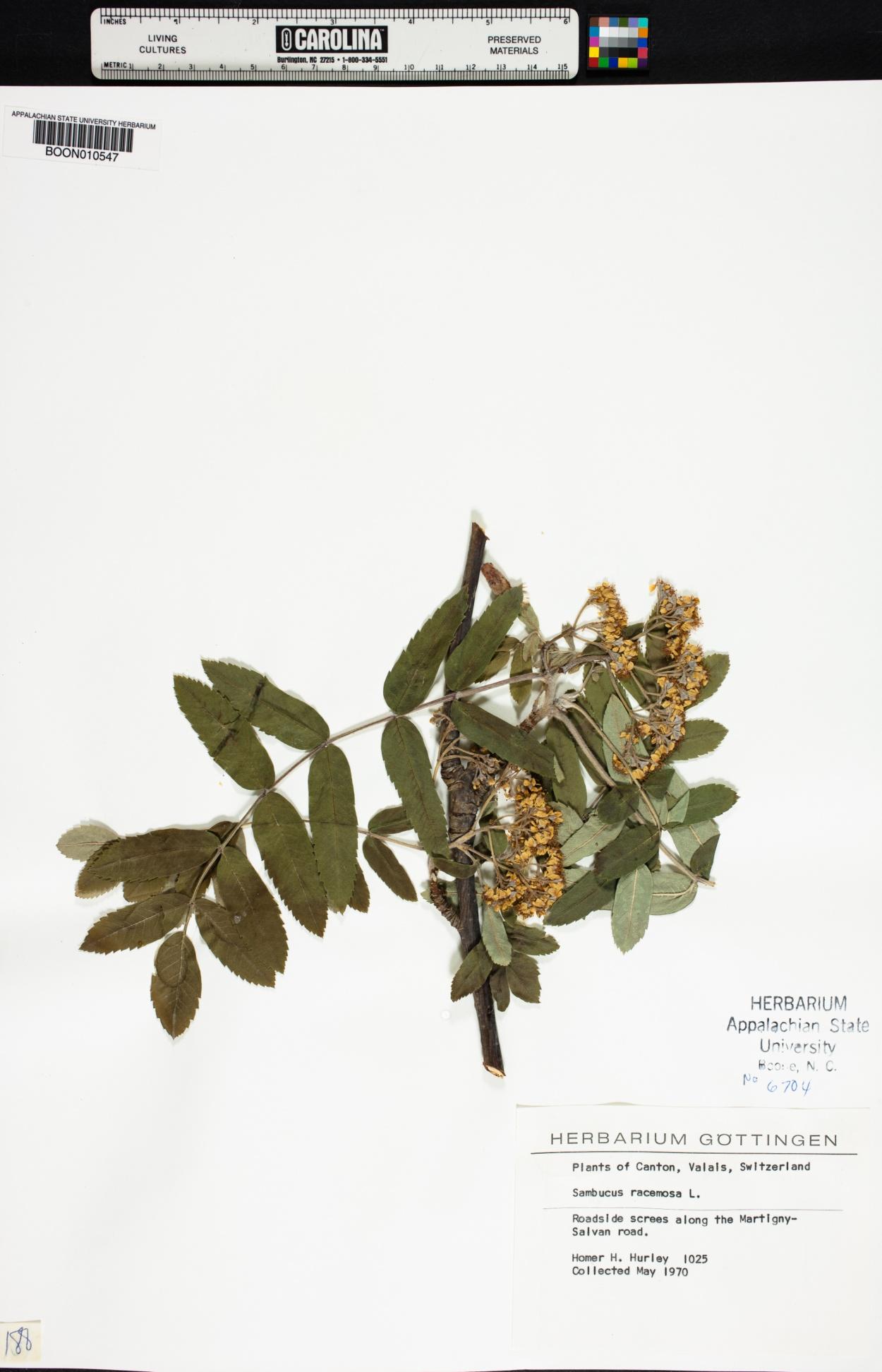 Sorbus aucuparia subsp. aucuparia image