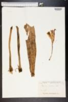 Image of Crinum ornatum