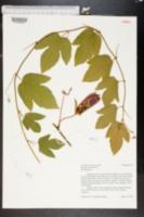Passiflora coccinea image