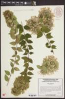 Image of Abelia triflora