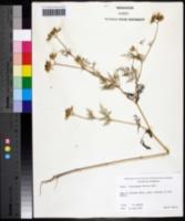 Trepocarpus aethusae image