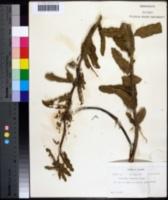 Image of Asclepias tomentosa