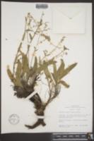 Image of Hackelia hispida