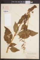 Image of Polygonum alpinum