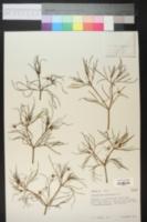 Dicranocarpus parviflorus image