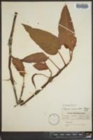 Polygonum amphibium image