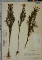 Matricaria maritima var. agrestis image
