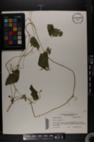 Sicyos angulatus image