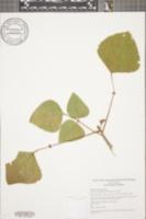 Image of Erythrina poeppigiana