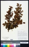 Sideroxylon rufohirtum image
