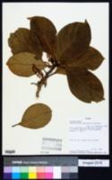 Image of Tetrorchidium euryphyllum