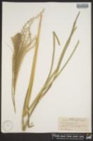 Miscanthus sinensis var. zebrinus image