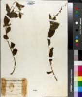 Image of Croton peraffinis