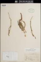 Calylophus hartwegii image