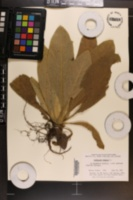 Verbascum thapsus image
