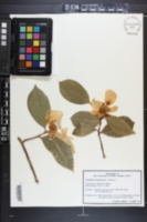 Image of Camellia gauchowensis