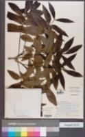 Image of Carya × brownii