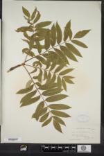 Sorbus americana image