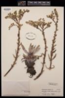 Image of Stylophyllum traskiae