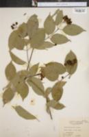 Image of Cornus asperifolia