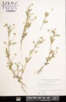 Viola arvensis image