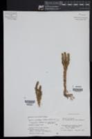 Image of Huperzia subintegra