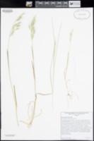 Bromus berteroanus image