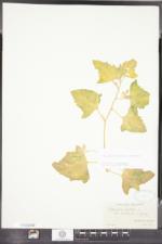 Atriplex glabriuscula image