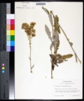 Hymenopappus artemisiifolius image