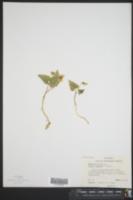 Viola hastata image