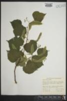 Image of Tilia euchlora