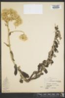 Image of Helichrysum panduratum