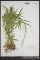 Panicum dichotomum var. barbulatum image