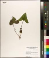 Image of Asarum arifolium