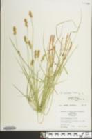 Carex contigua image