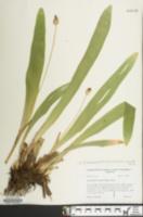 Cymophyllus fraserianus image