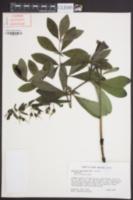 Baptisia bracteata image